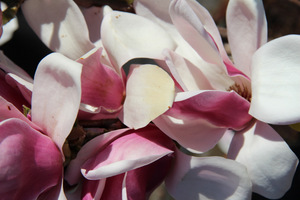 "Magnolia ""Satisfaction"""