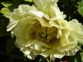 "Paeonia suffruticosa ""Yellow Heaven"""